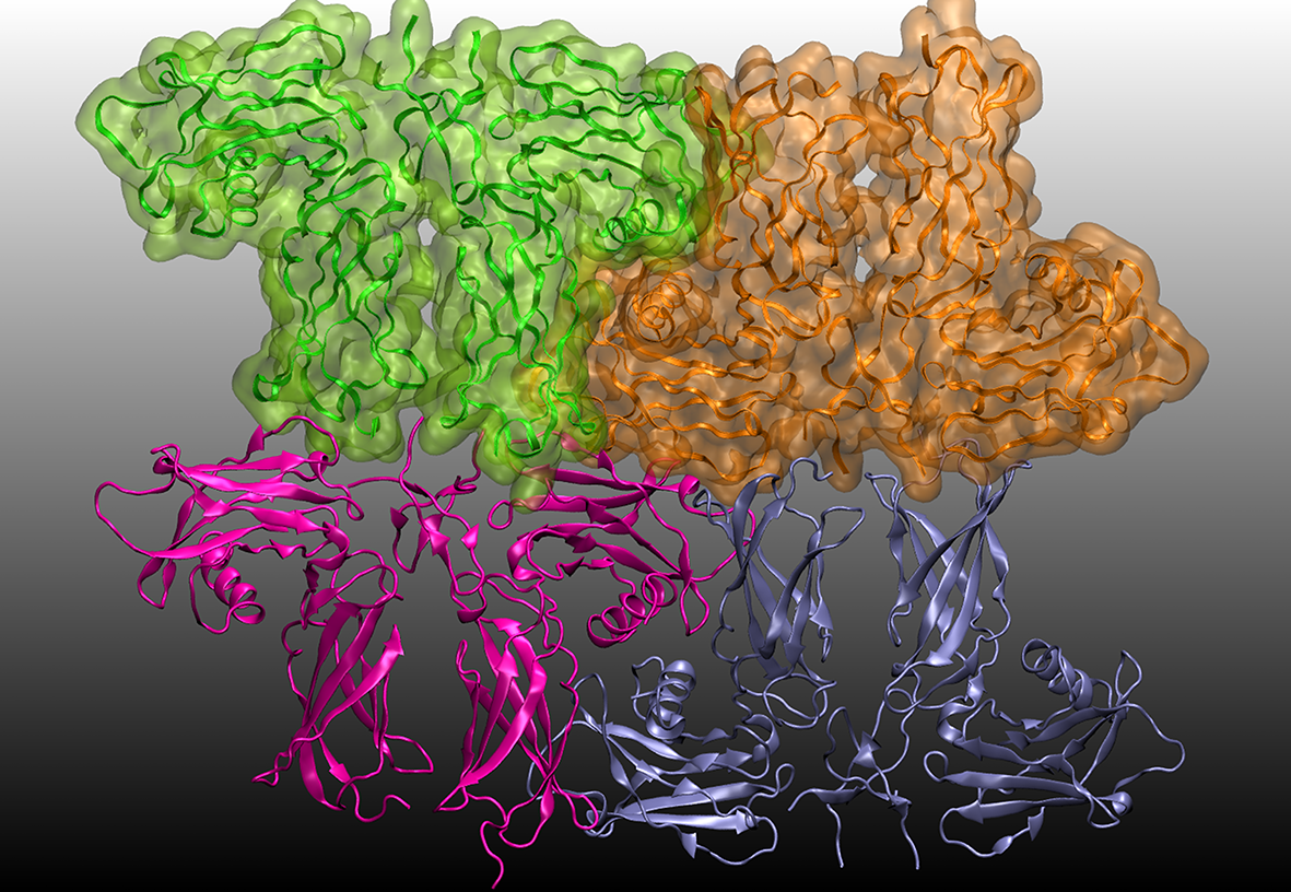 Unit cell of the erythropoietin receptor (EPOR): erythropoietin mimeitic peptide 33 (EMP33) complex